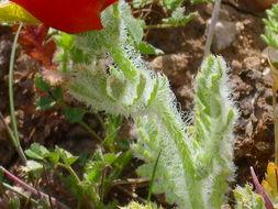 Image of blackspot hornpoppy