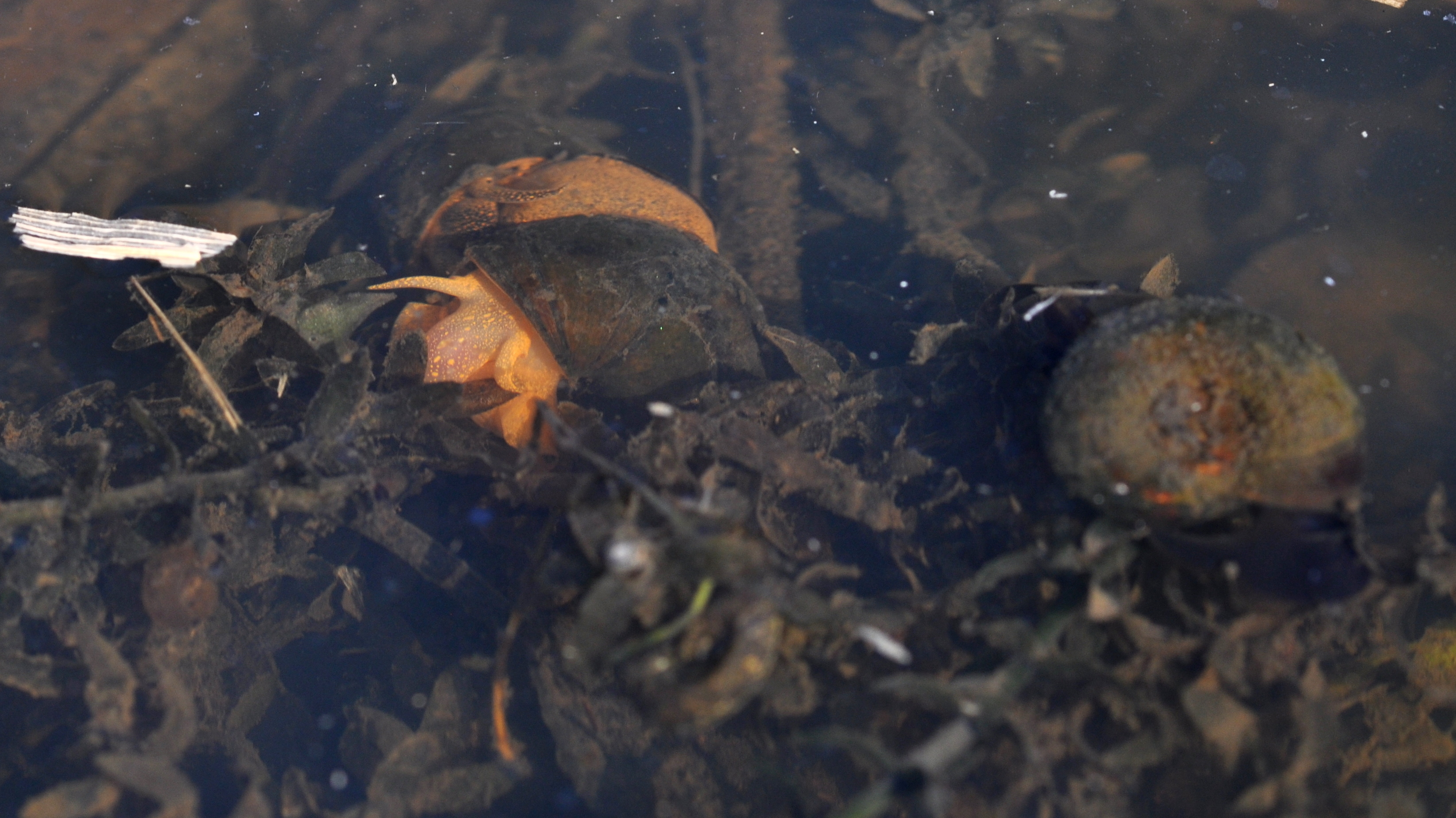Image of Lister's River Snail