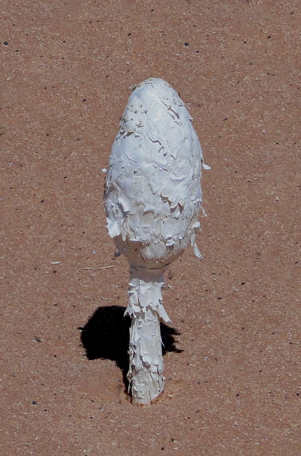Image of Desert shaggy mane