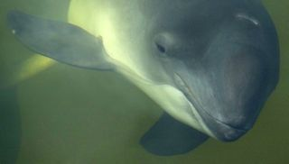 Image of Common Porpoise