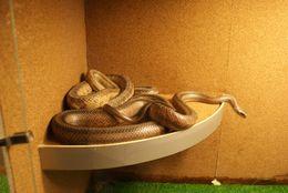 Image of Baird's Rat Snake