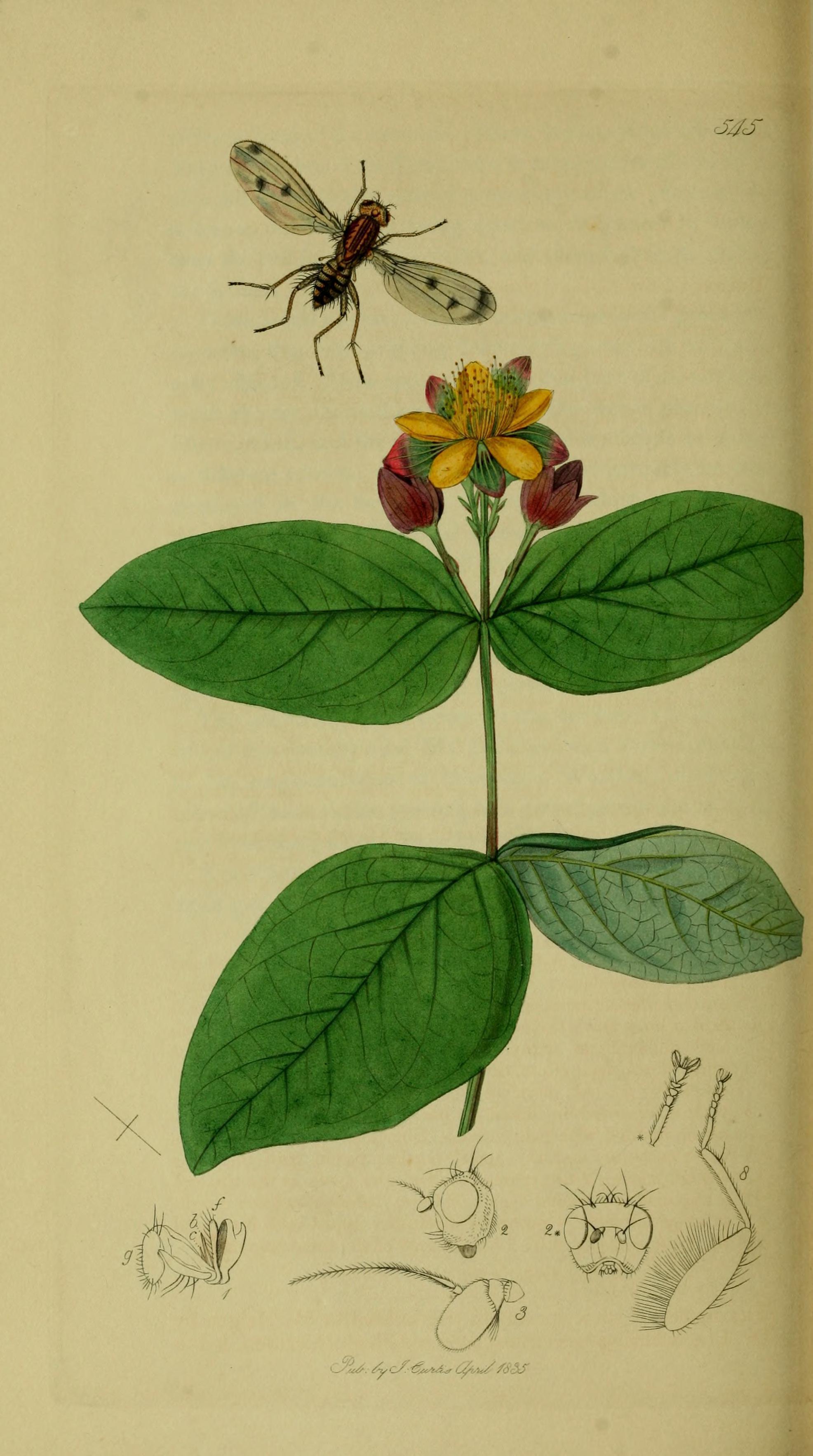Image of Suillia