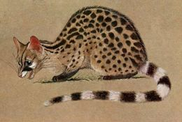 Image of Crested Genet