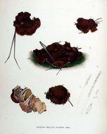 Image of <i>Rhizina undulata</i> Fr. 1815