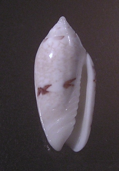 Image of <i>Oliva chrysoplecta</i> Tursch & Greifeneder 1989