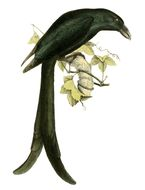 Image of Mayotte Drongo