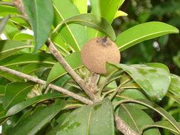 Image of sapodilla