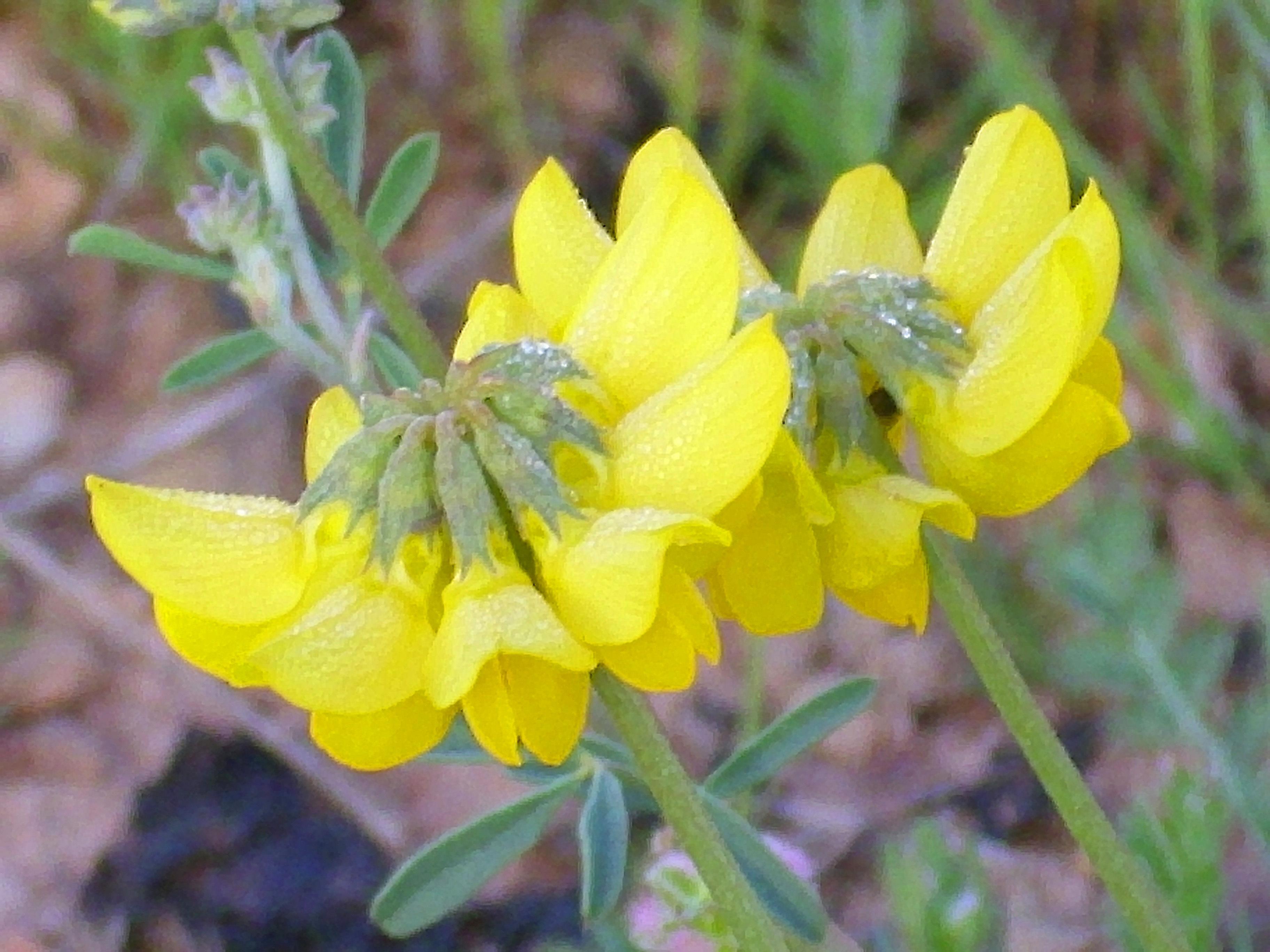 Image of <i>Coronilla minima</i> L.
