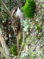 Image of Certhia Linnaeus 1758