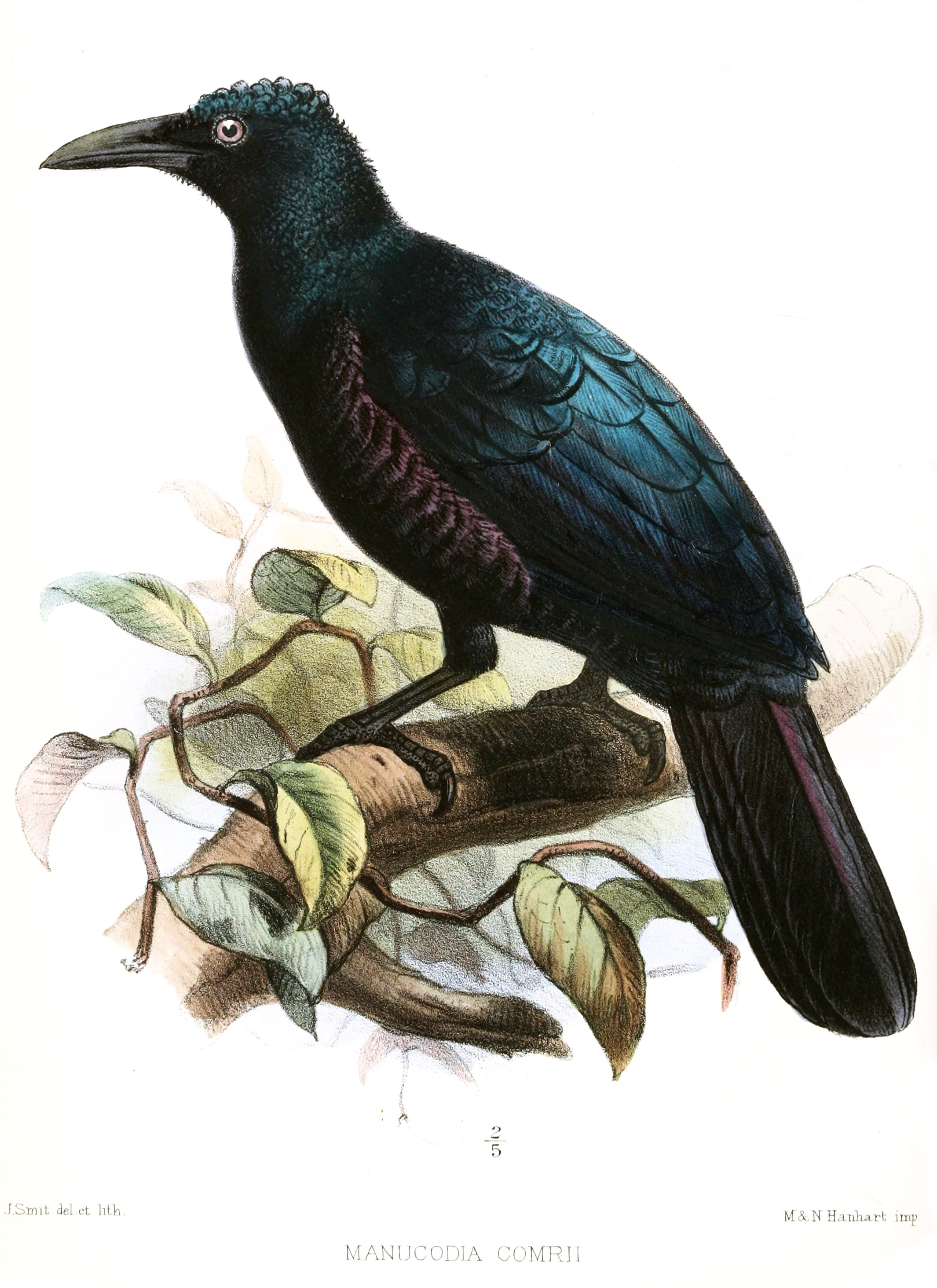 Image of Curl-crested Manucode
