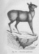 Image of Siberian Musk Deer