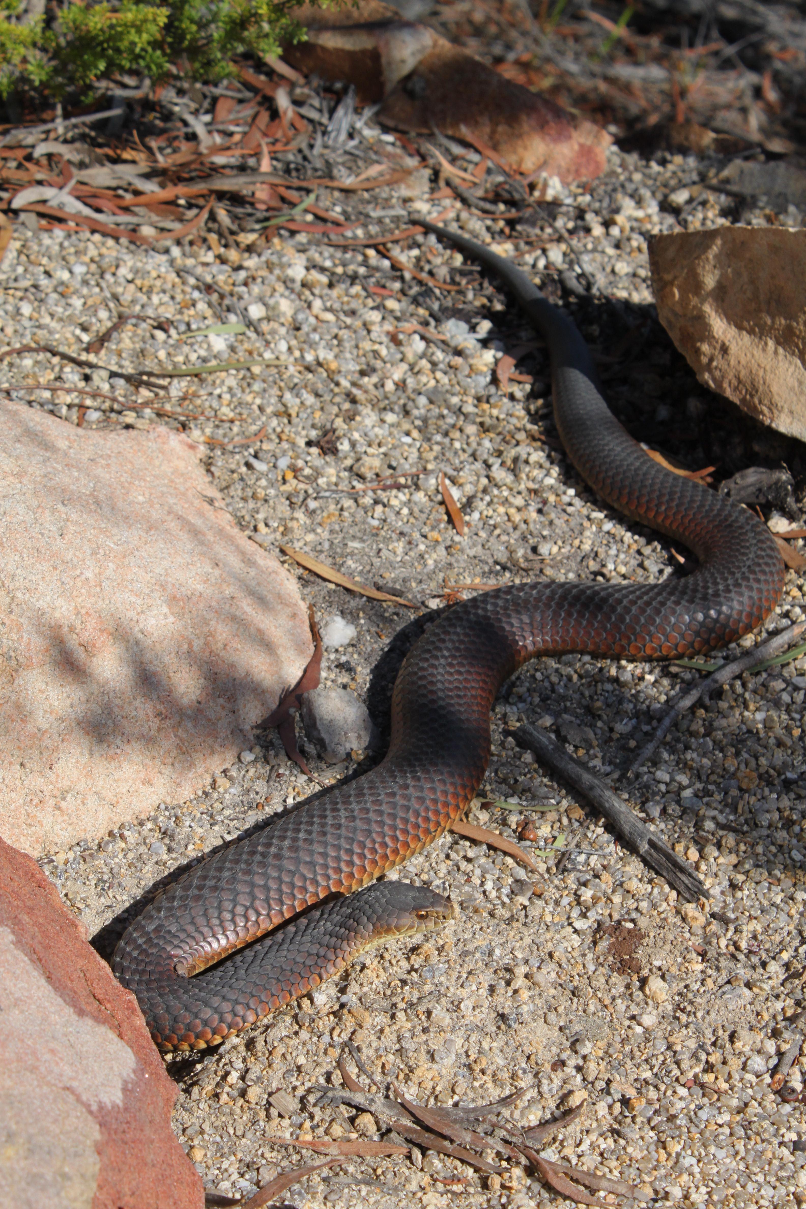Image of White-lipped snake