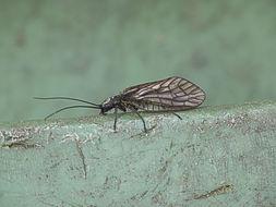 Image of Alderfly