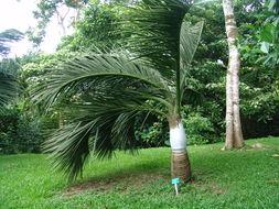 Image of Manambe Palm