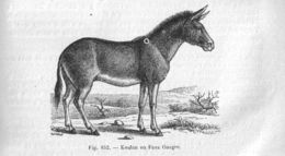 Image of Kulan