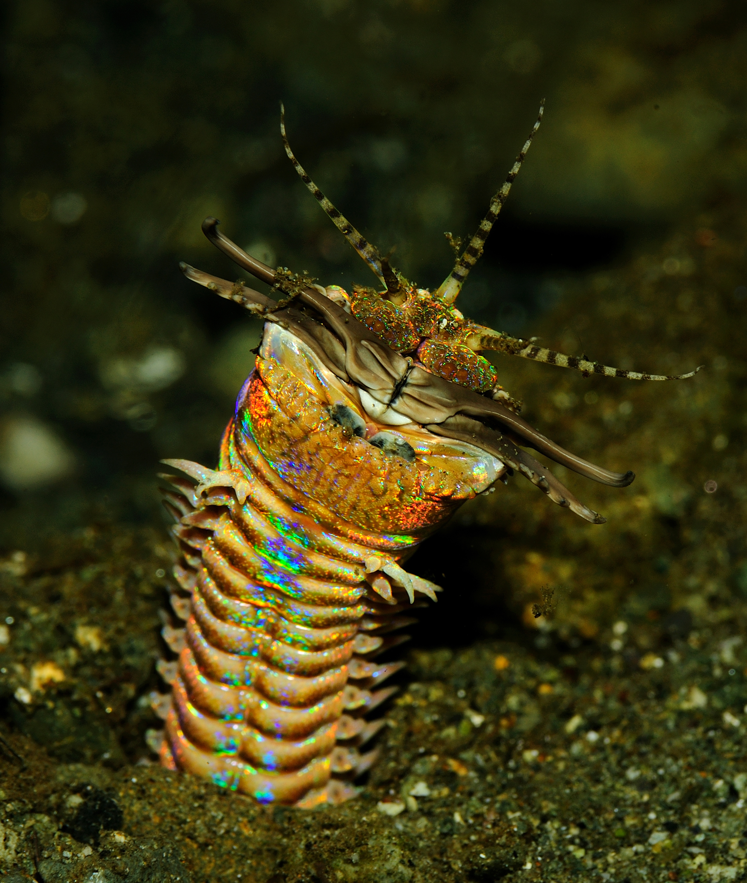 Image of Aphrodite worm