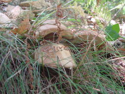 Image of Gyroporus