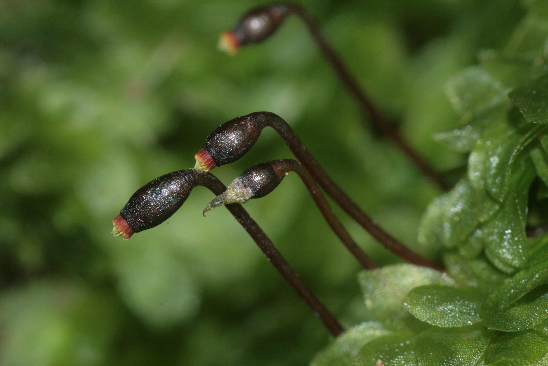 Image of hookeria moss