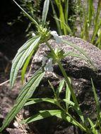 Image of Wild ocinum