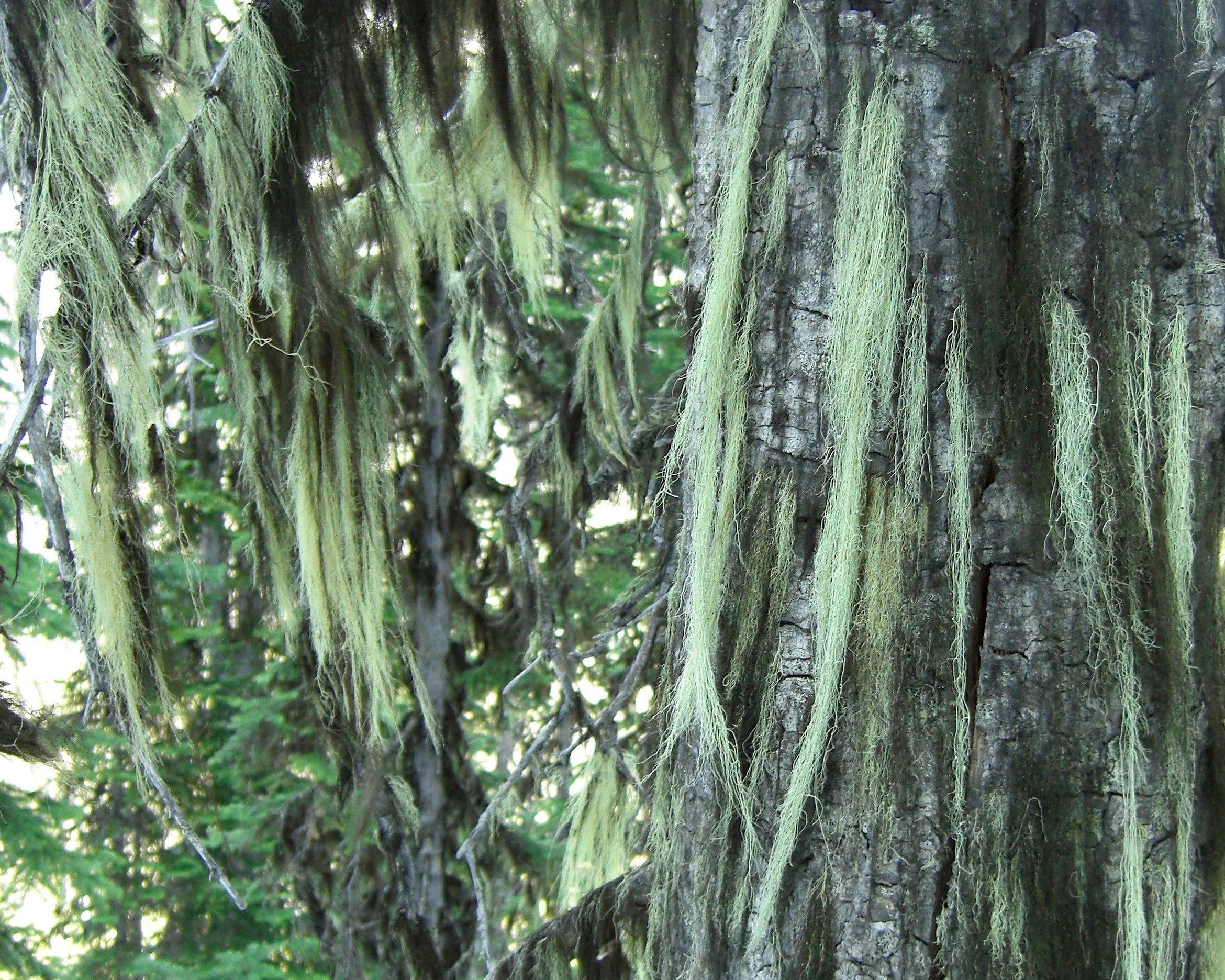 Image of witch's hair lichen