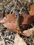Image of Copper-Tailed Skink