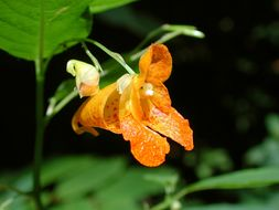 Image of Spotted Jewelweed