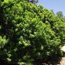 Image of <i>Citrus myrtifolia</i>