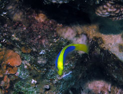 Image of <i>Pseudochromis flavivertex</i> Rüppell 1835