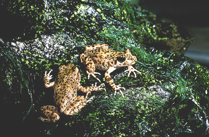 Image of Majorca Midwife Toad