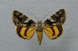 Image of <i>Catocala diversa</i>