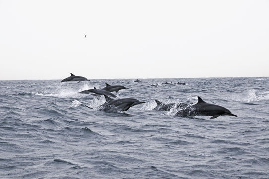 Image of Long-beaked Dolphin