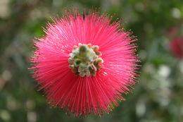 Image of crimson bottlebrush