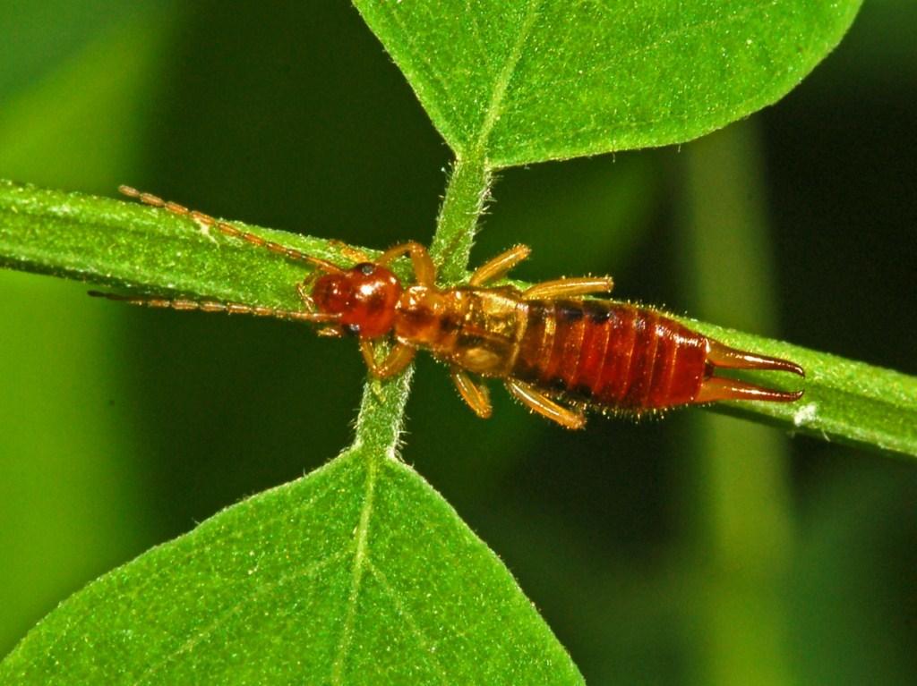 Image of <i>Forficula pubescens</i>