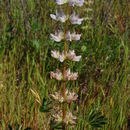 Image of hollowleaf annual lupine