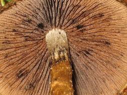 Image of <i>Lacrymaria lacrymabunda</i> (Bull.) Pat. 1887