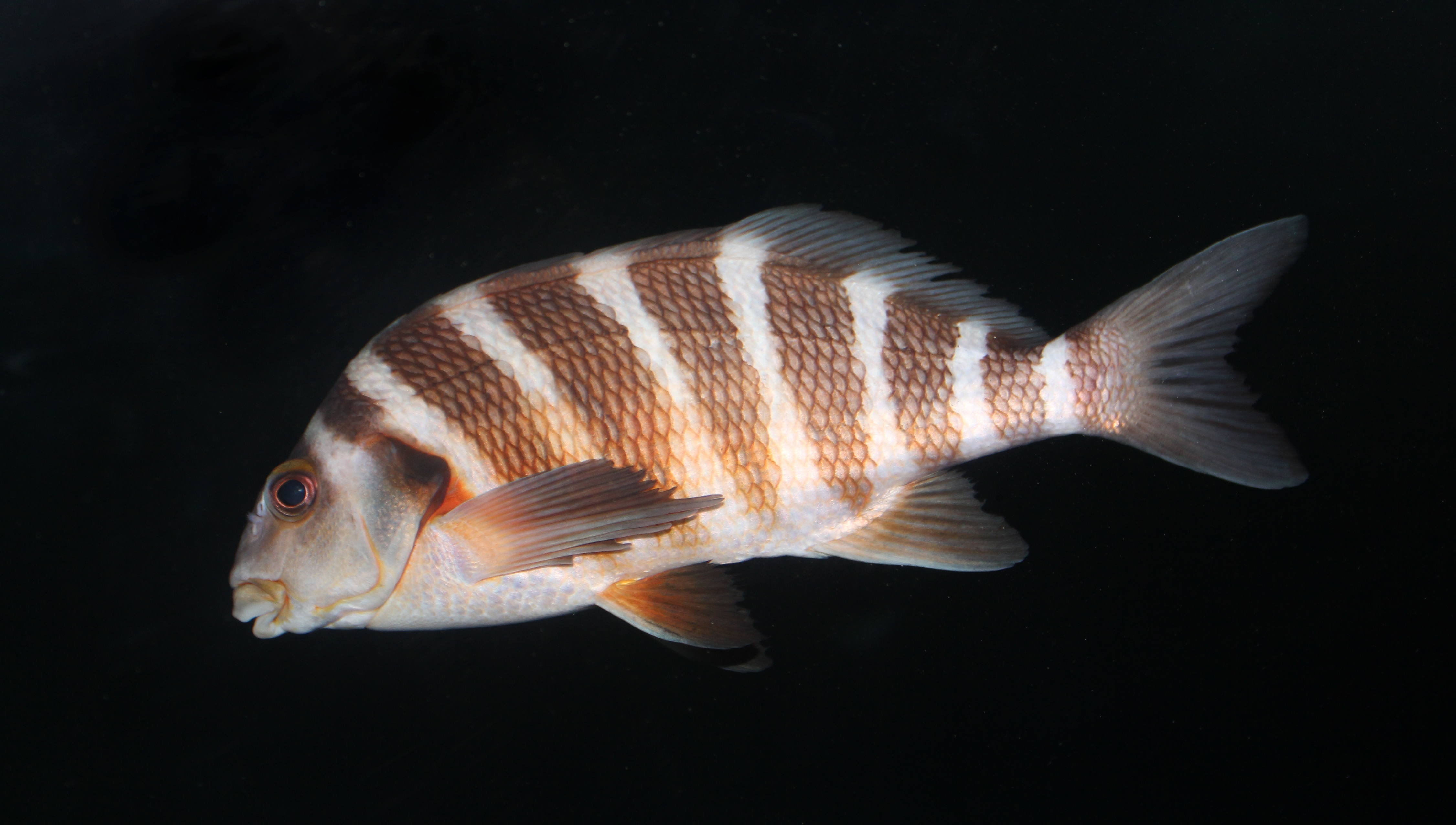 Image of Banded morwong