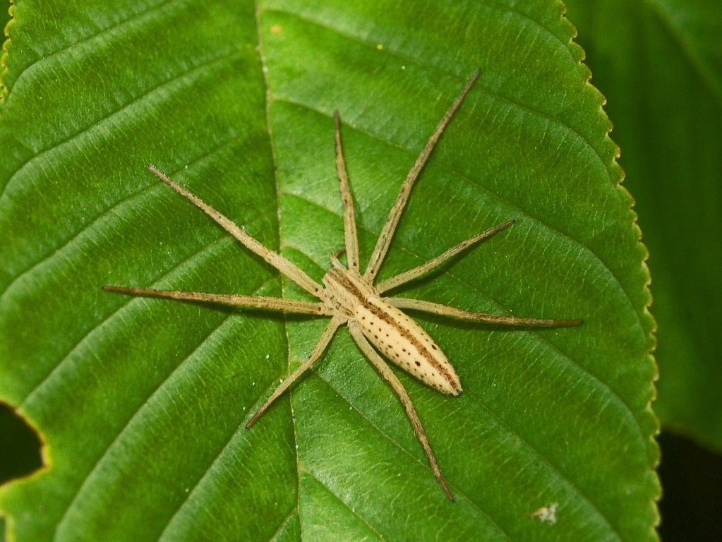 Image of Slender Crab Spiders