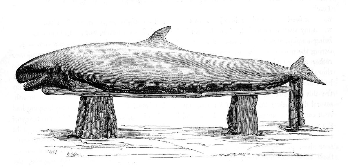 Image of False Killer Whale