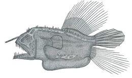 Image of Hairy angler