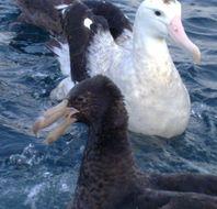 Image of Wandering Albatross