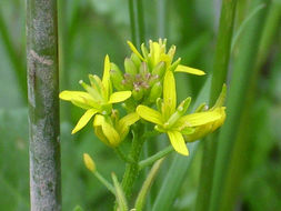 Image of herb sophia