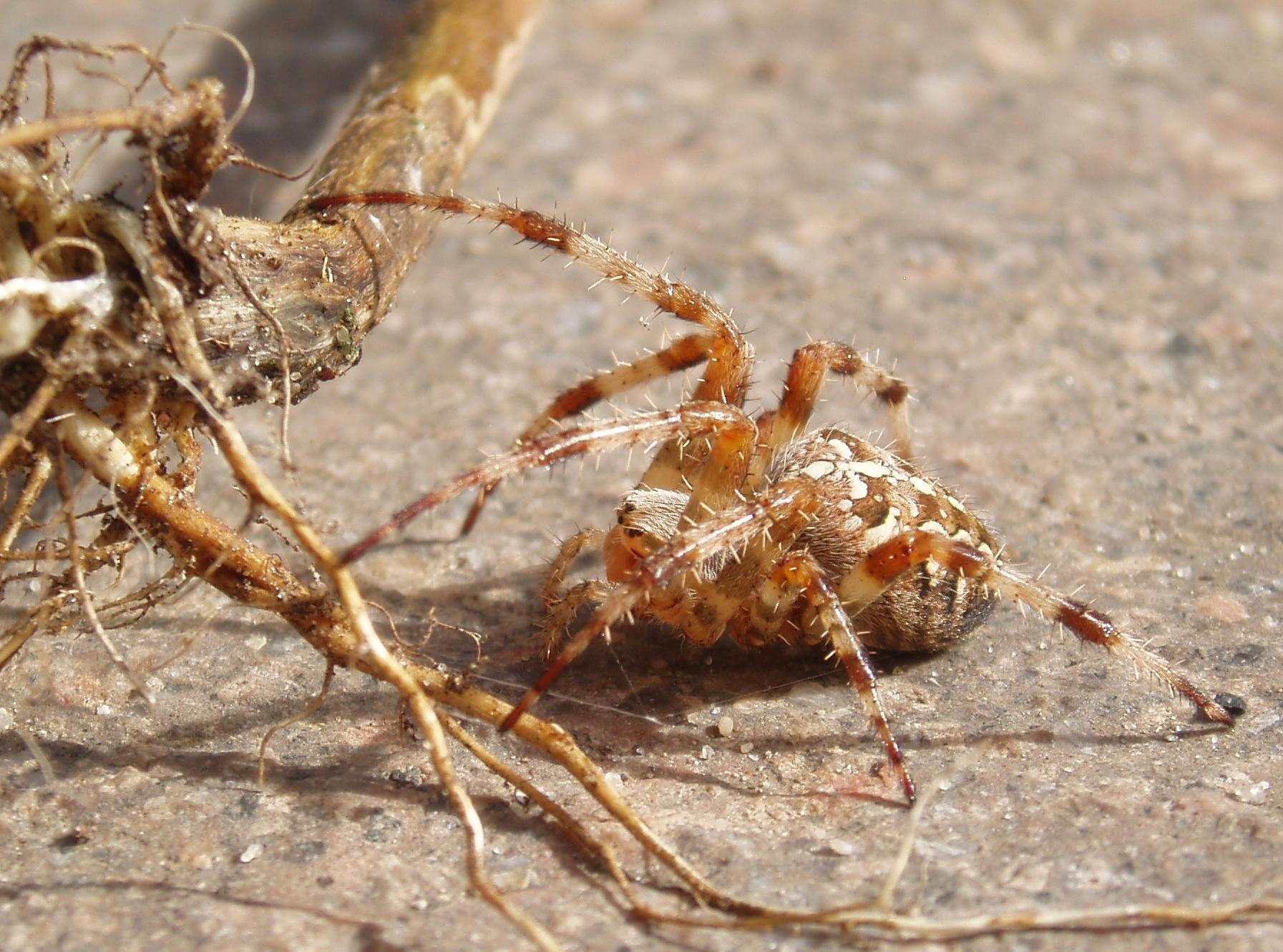 Image of <i>Araneus quadratus</i> Clerck 1757