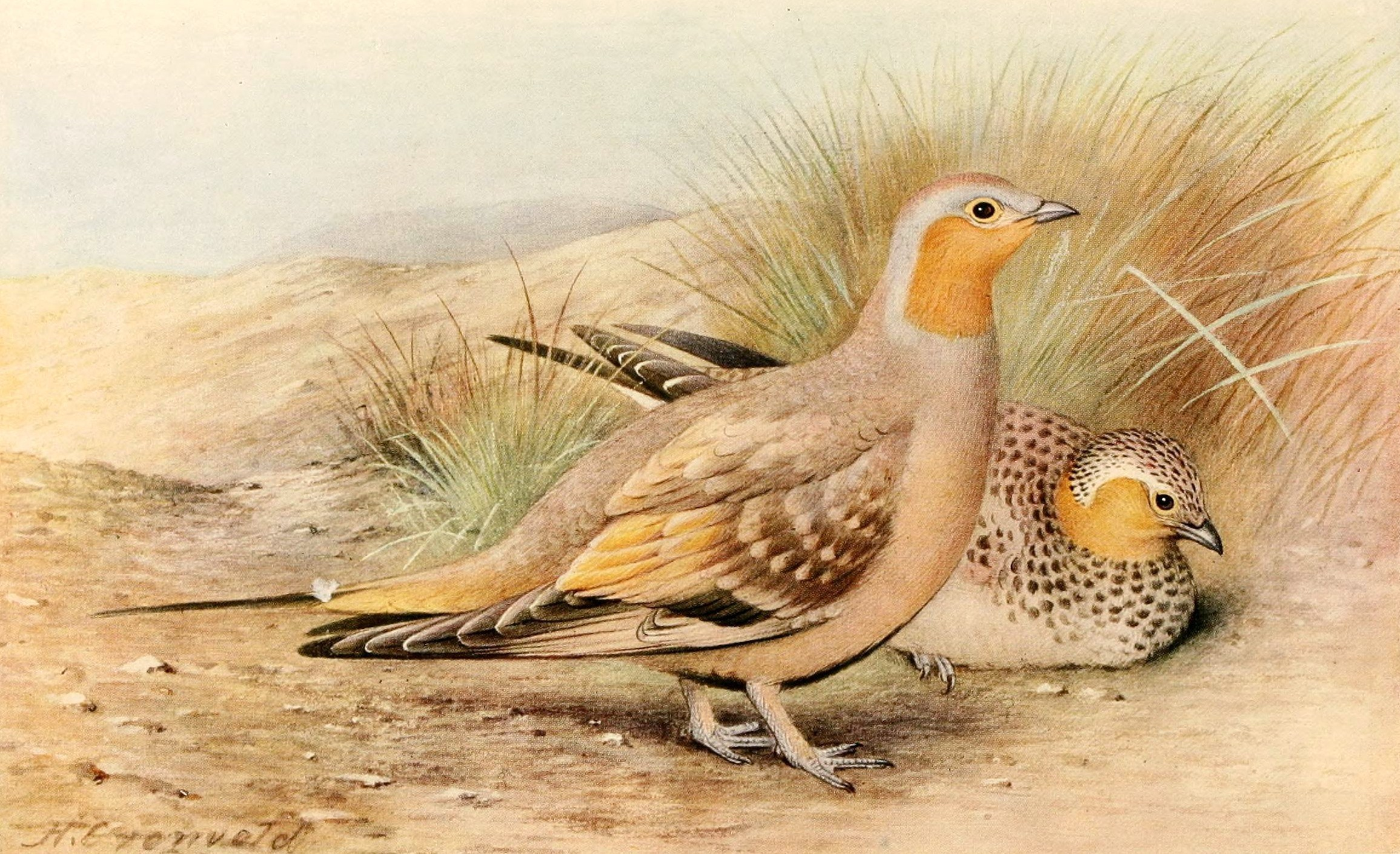 Image of Spotted Sandgrouse