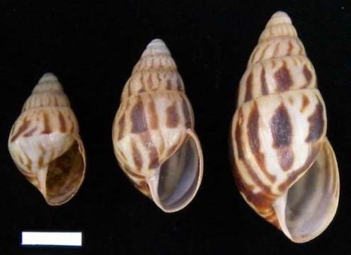 Image of <i>Limicolaria flammea</i> (O. F. Müller 1774)