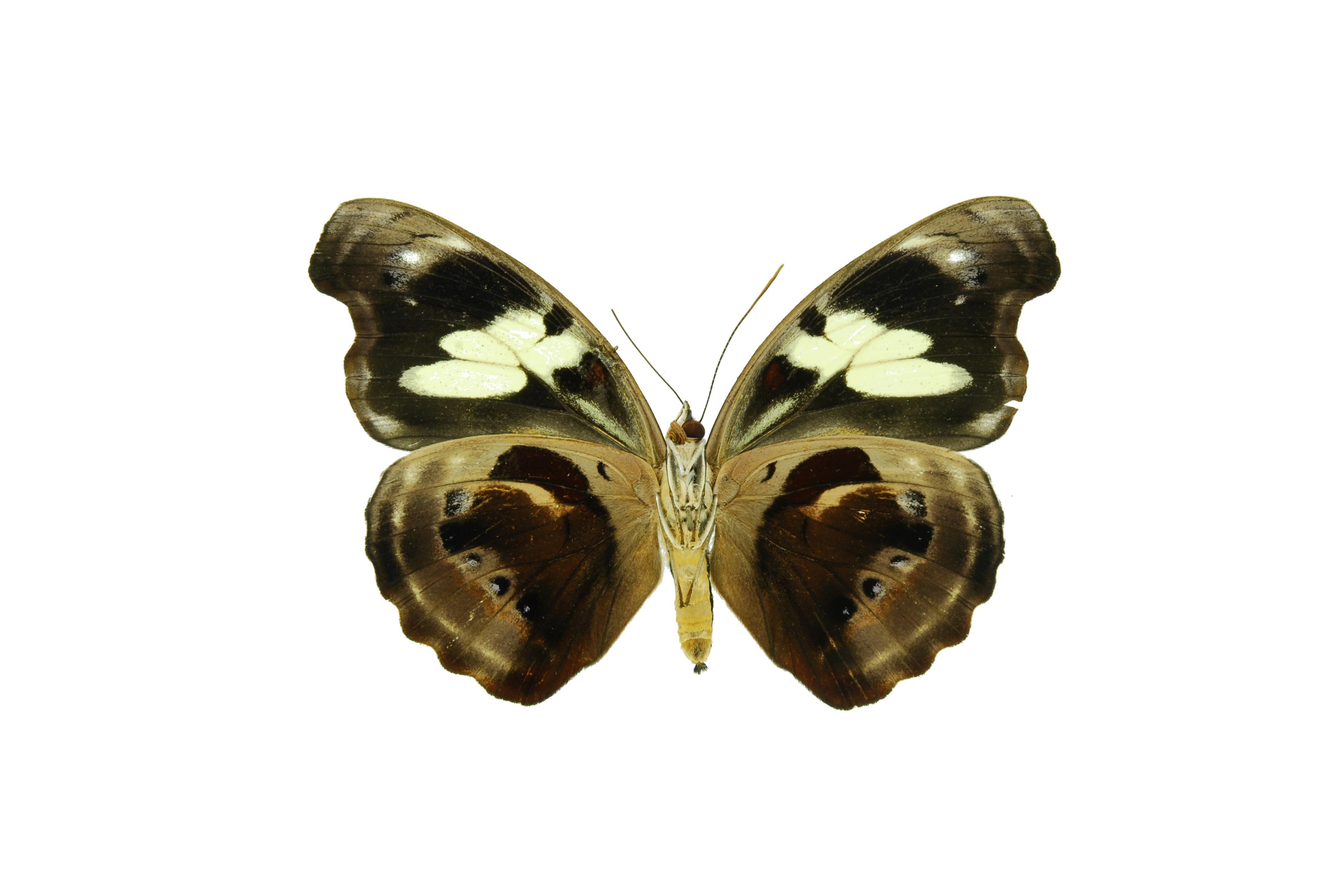 Image of <i>Catonephele numilia</i> Cramer 1779