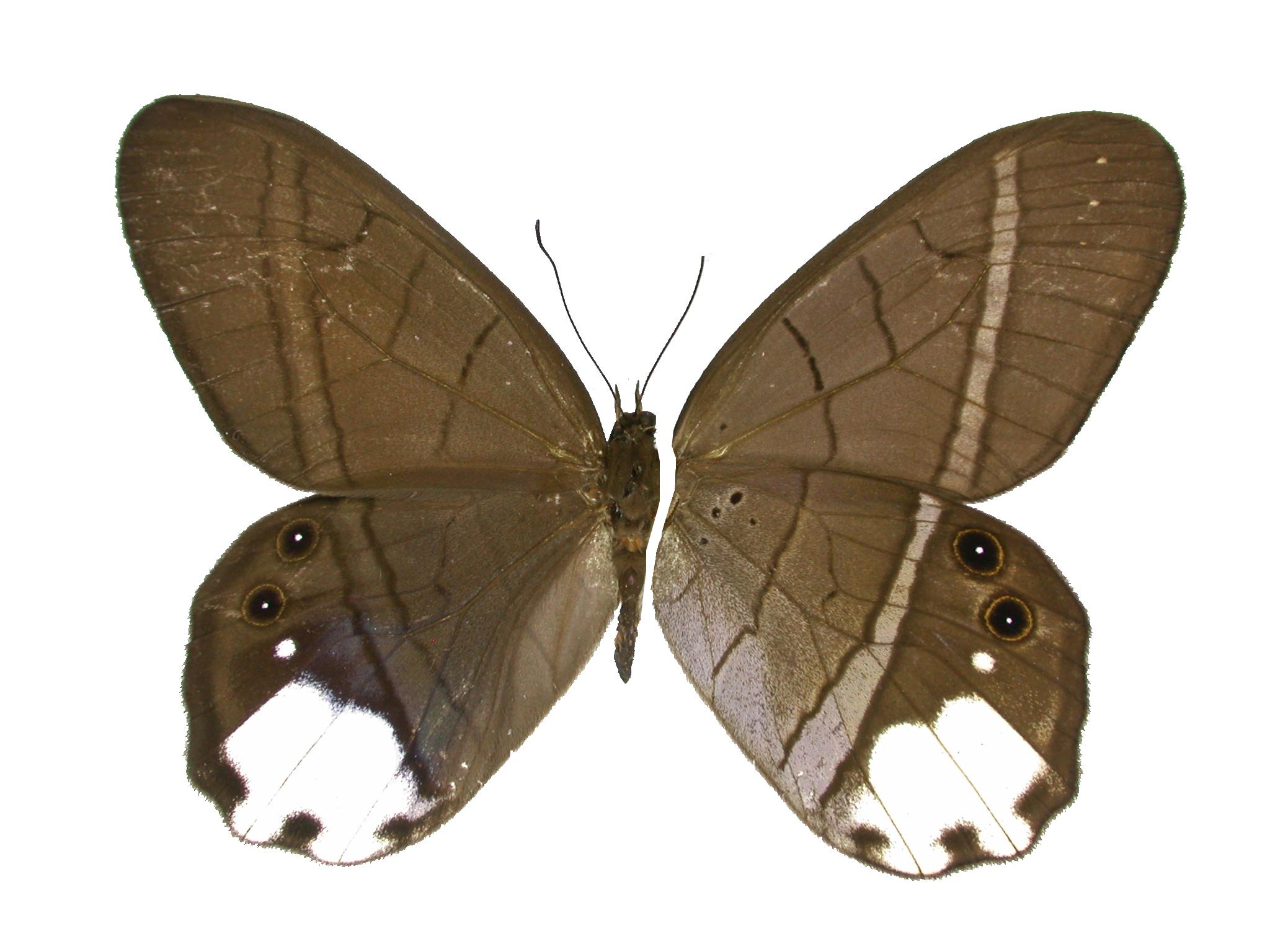 Image of <i>Pierella lucia</i> Weymer 1885