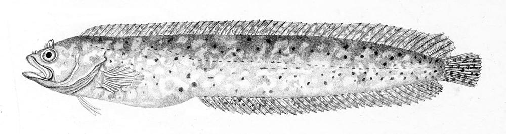 Image of Snaky Klipfish