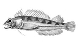 Image of Cockabully