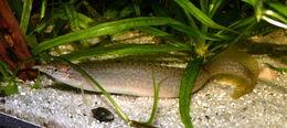 Image of Indian mastacembelid eel