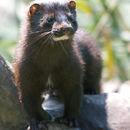 Image of American Mink